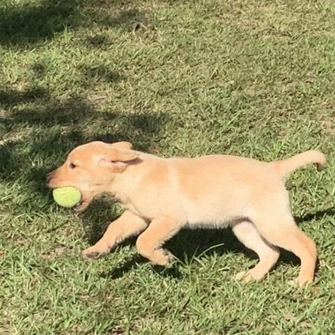 Dogs – Ace's Retrievers